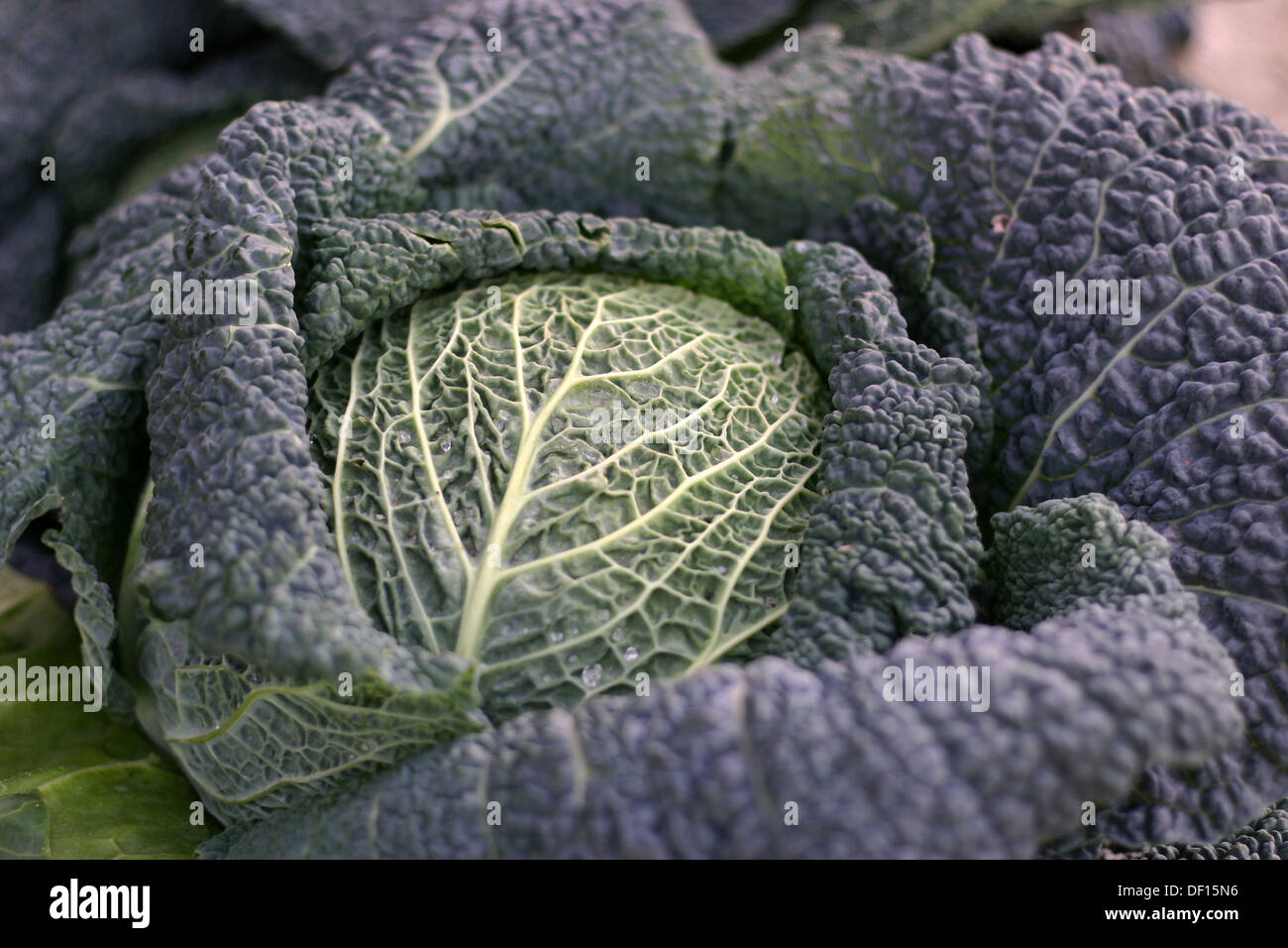 Neustadt in Holstein, Germany, Close up of a Savoy with leafs Stock Photo
