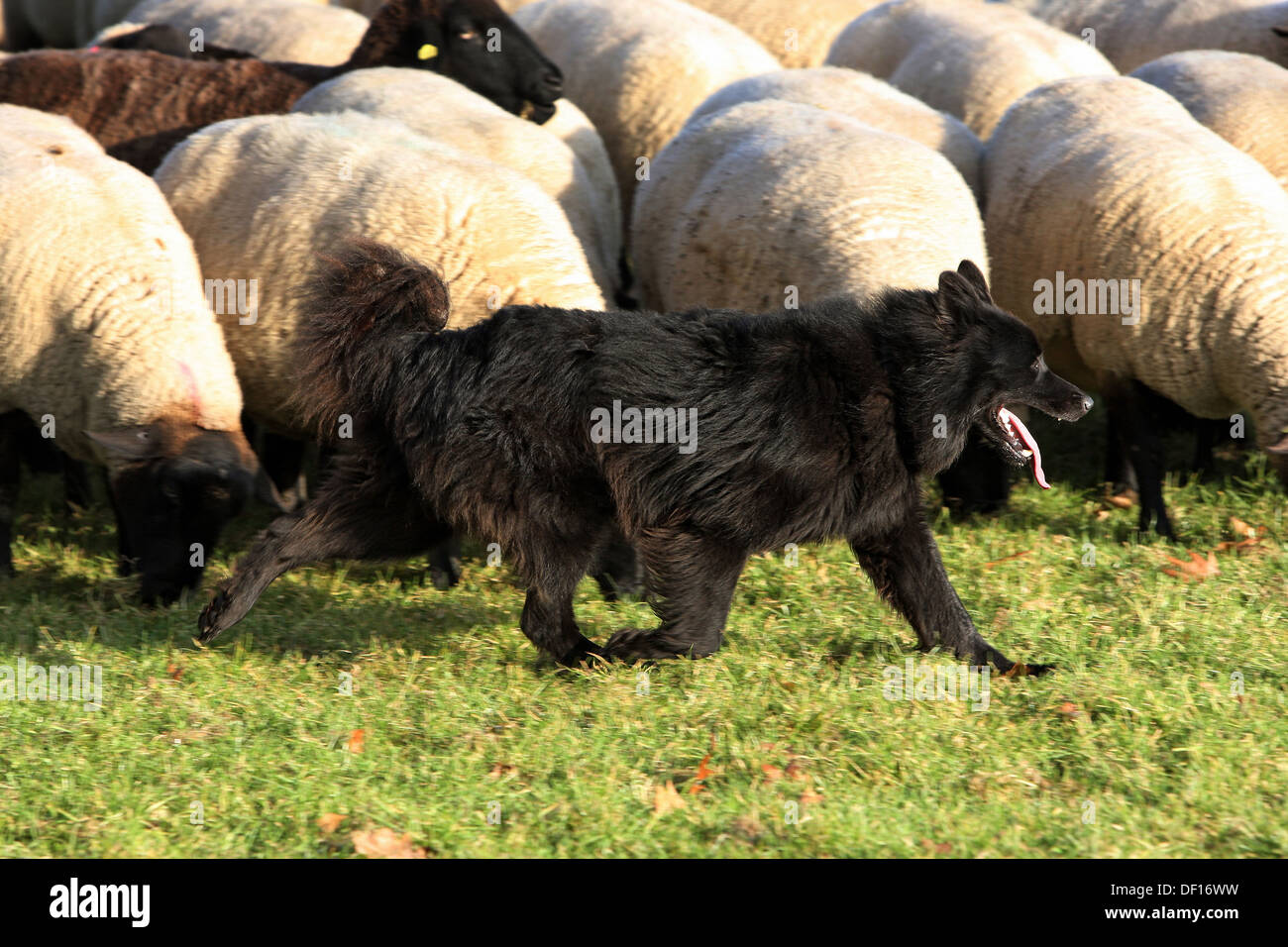Hoppegarten, Germany, Huetehund runs in front of a flock of sheep Stock Photo