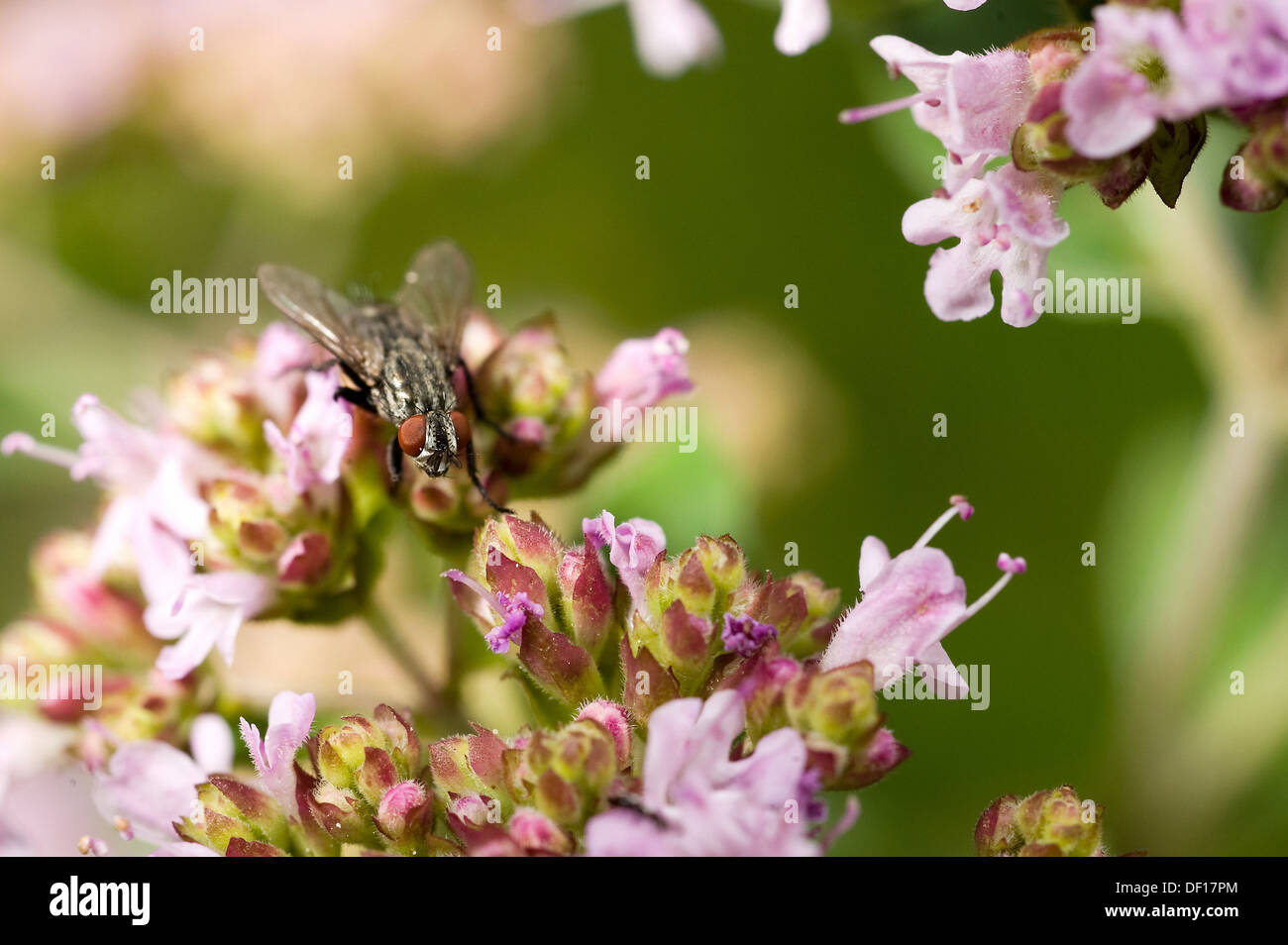 Berlin, Germany, a fly sitting on the flowering of Dost Stock Photo