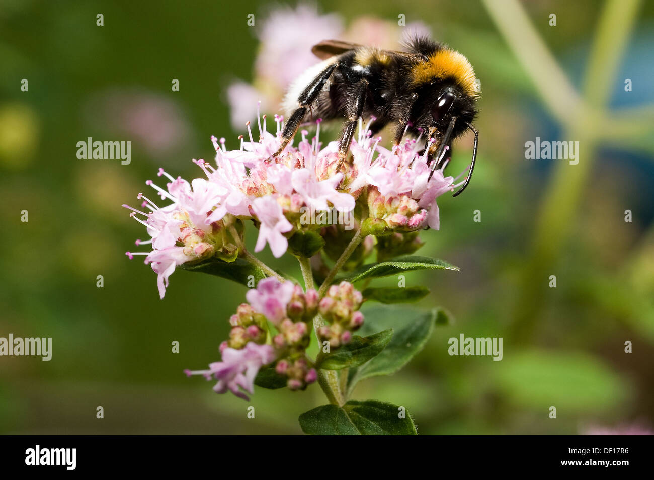 Berlin, Germany, a bumblebee sits on the flowering of Dost Stock Photo