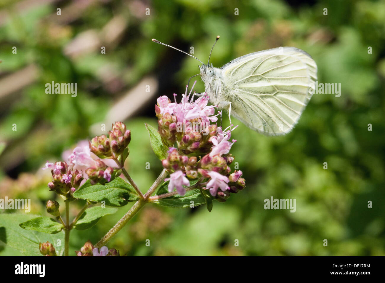 Berlin, Germany, a cabbage white butterfly sitting on the flowering of Dost Stock Photo