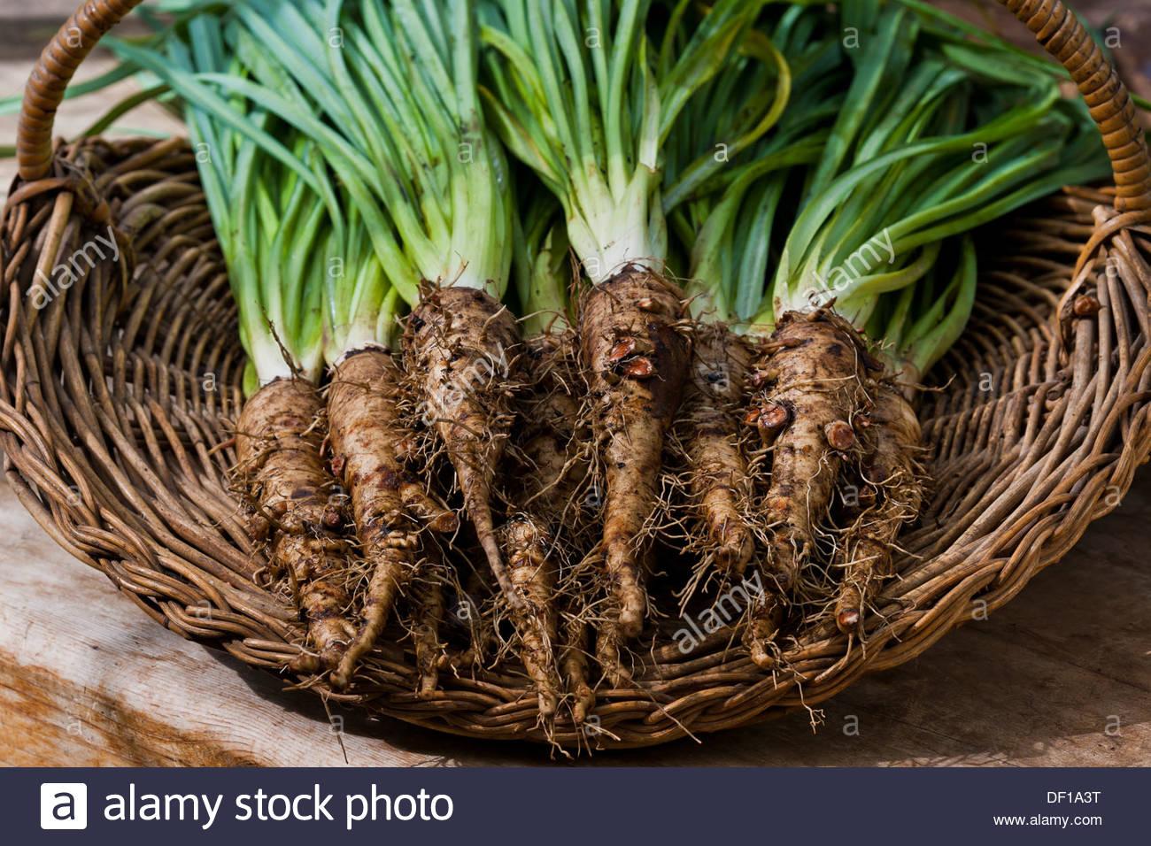 Salsify Tragopogon porrifolius Oyster plant gaotsbeard biennial root vegetable freshly harvested pulled home grown organic - Stock Image