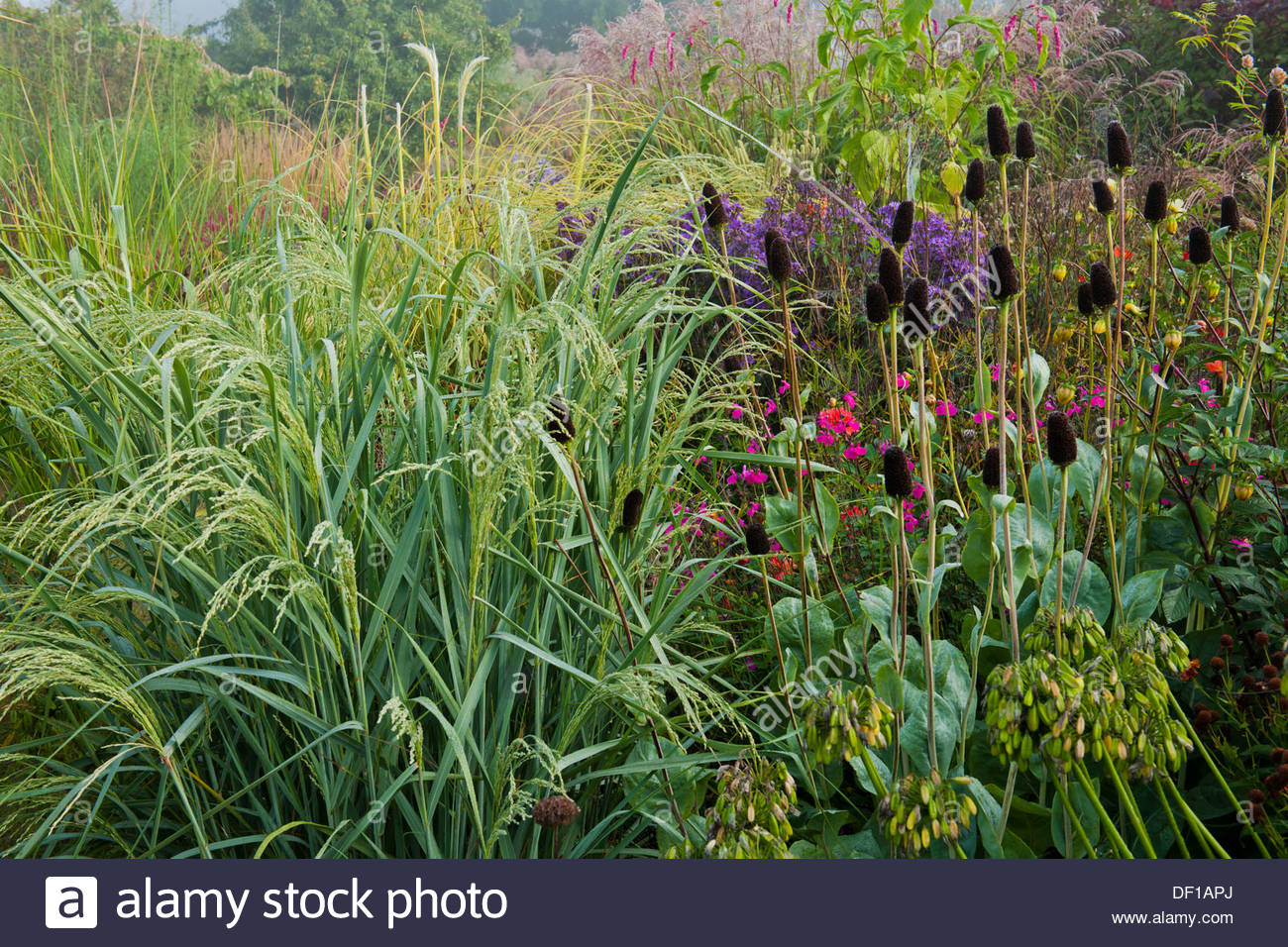 bitter panicgrass switch grass Panicum amarum Dewey Blue giant coneflower black-eyed Susan Rudbeckia maxima autumn fall borders - Stock Image