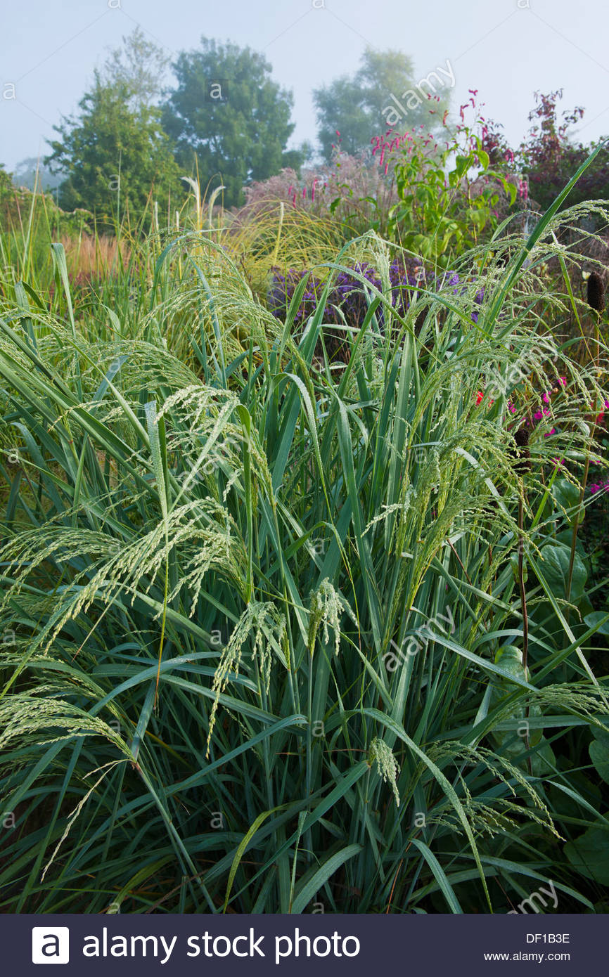 bitter panicgrass switch grass Panicum amarum 'Dewey Blue' - Stock Image
