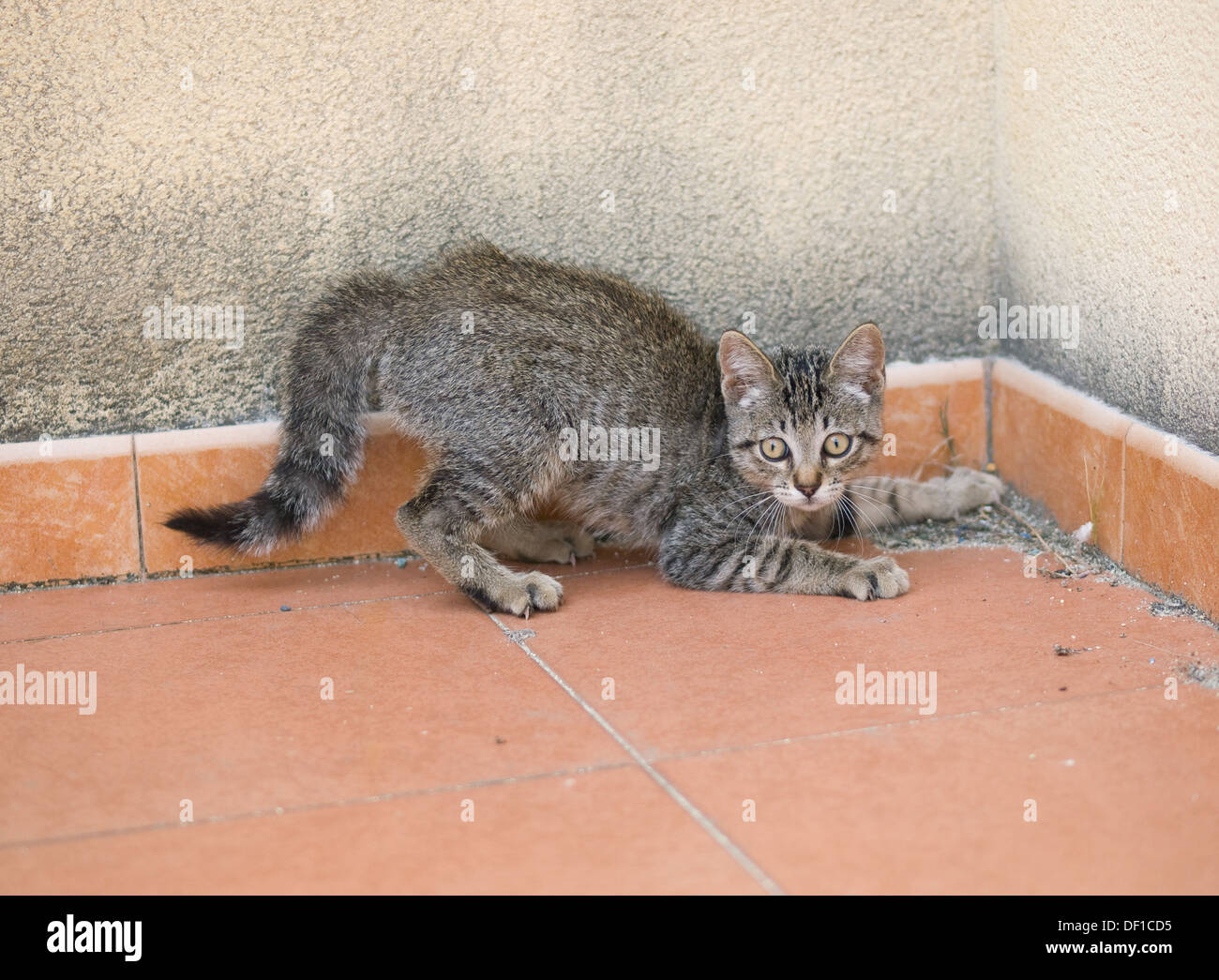 Small kitten on alert. Kitten is playing at being a hunter. - Stock Image
