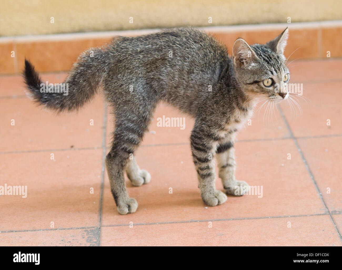 A frightened kitten and bristling on a tile background - Stock Image
