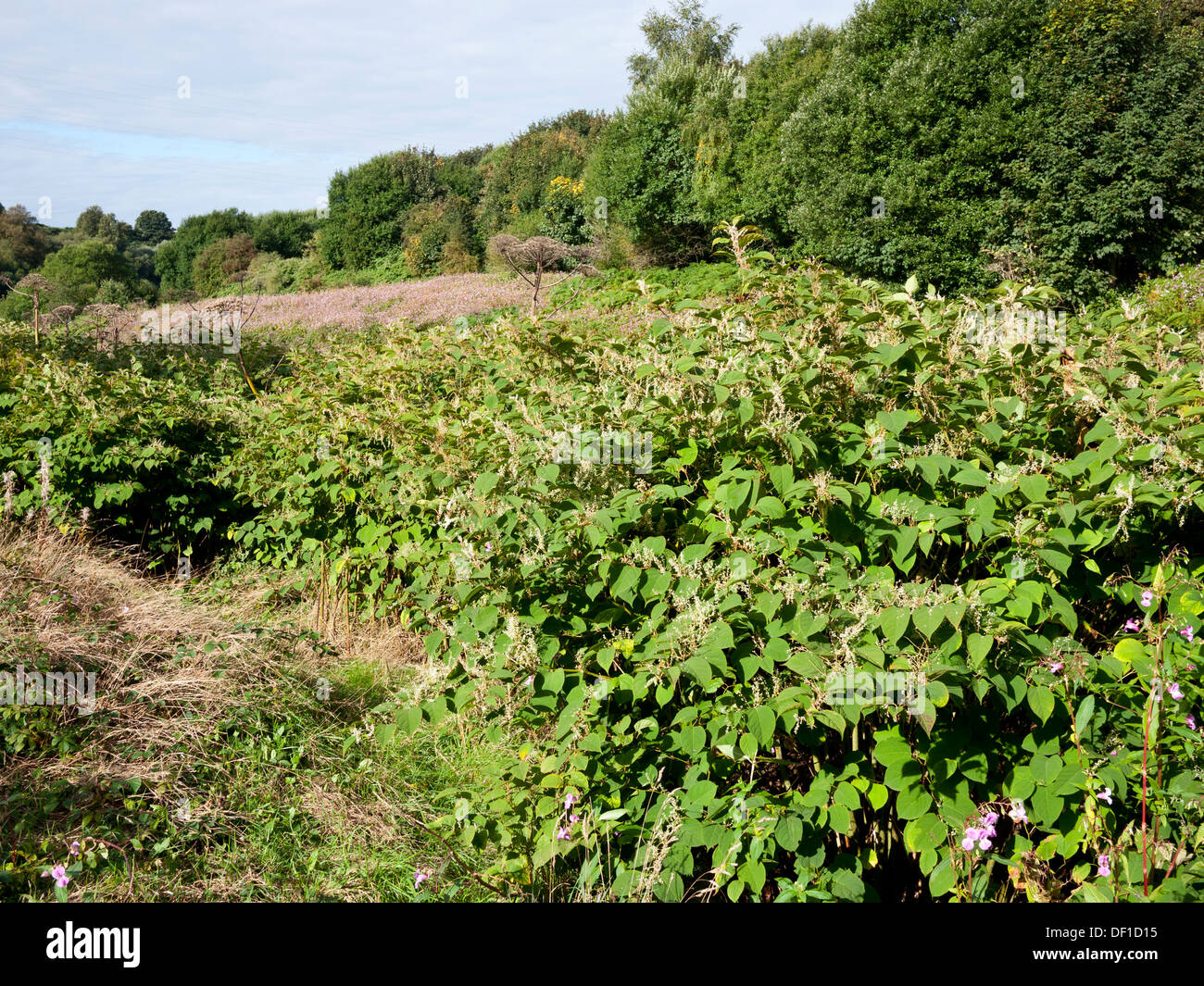 Japanese Knotweed (fallopia japonica) on the banks of the River Irwell Radcliffe,Greater Manchester,UK. - Stock Image