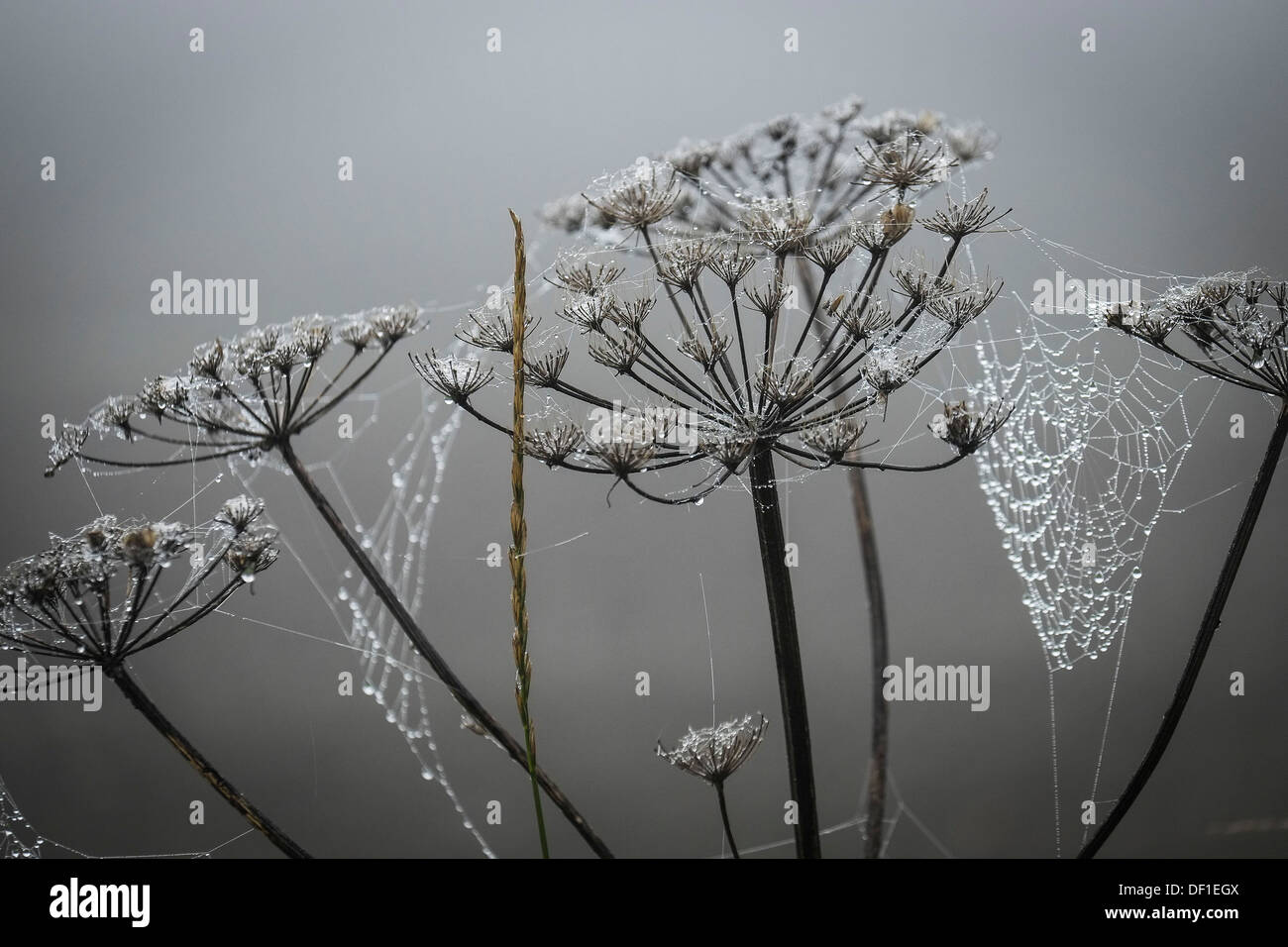Dew covered spiderwebs on Cow Parsley. - Stock Image