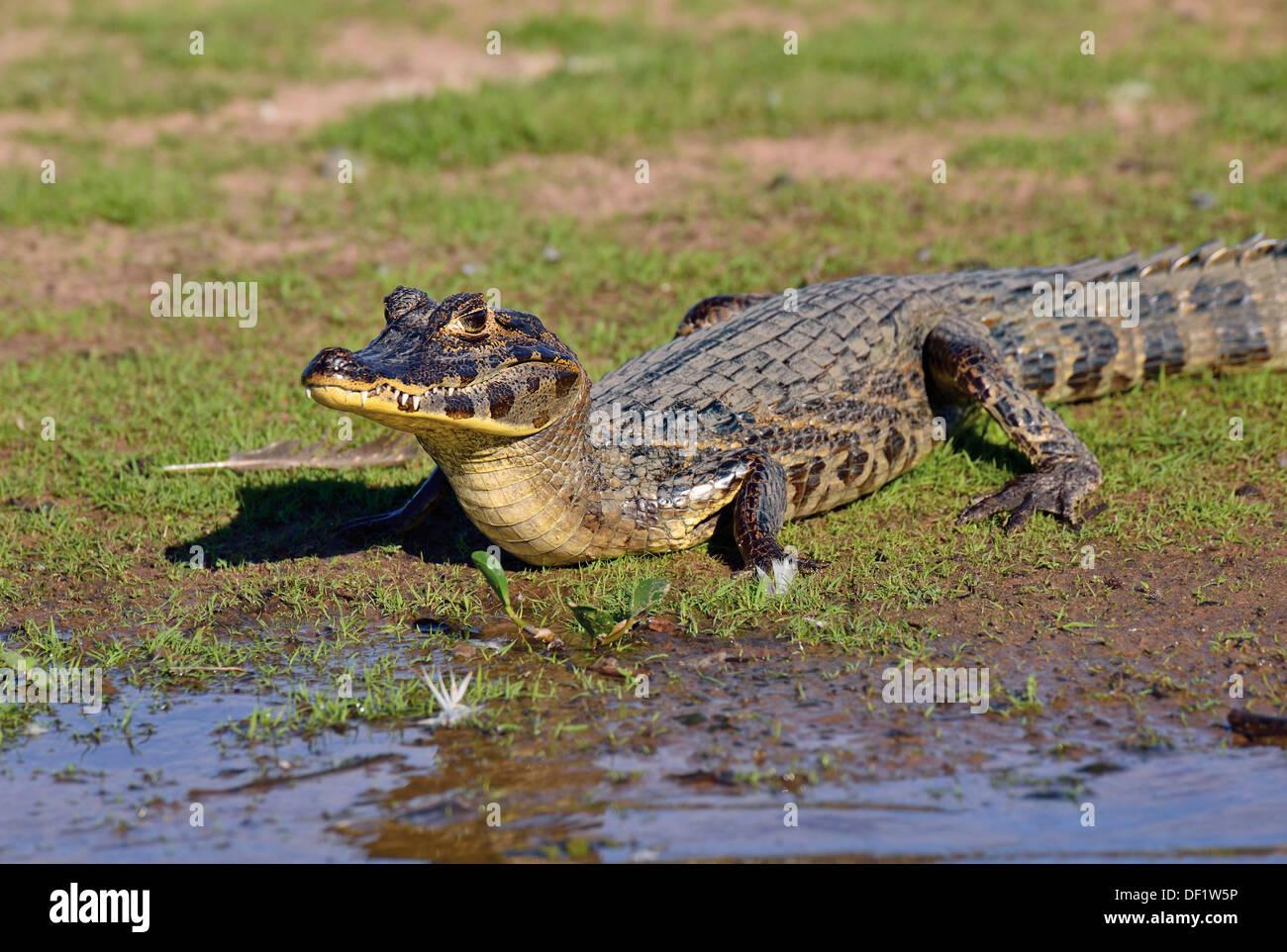 Brazil, Pantanal: Young yacare caiman (Caiman yacare) at