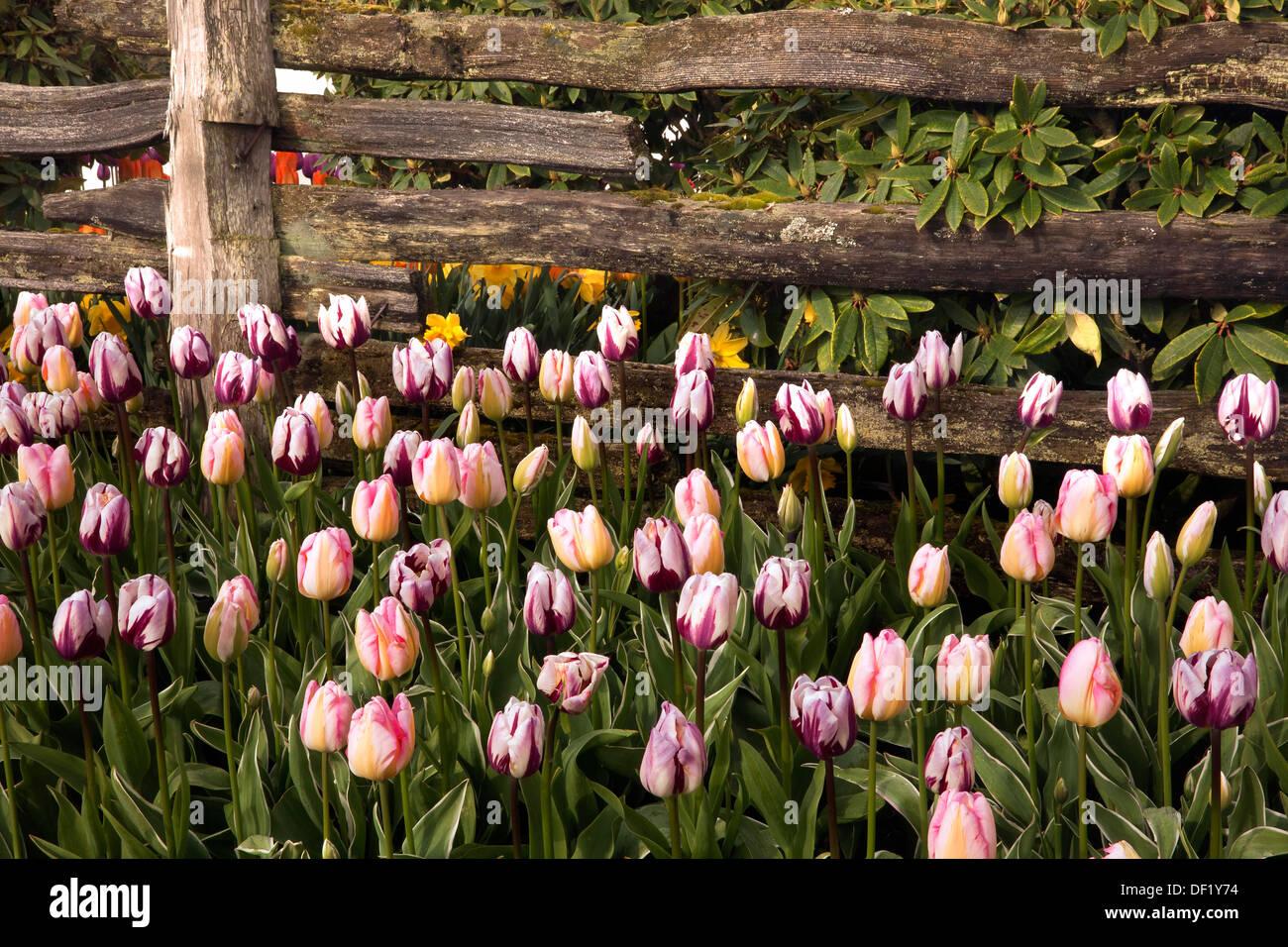 Tulip Garden Fence Spring Stock Photos & Tulip Garden Fence Spring ...