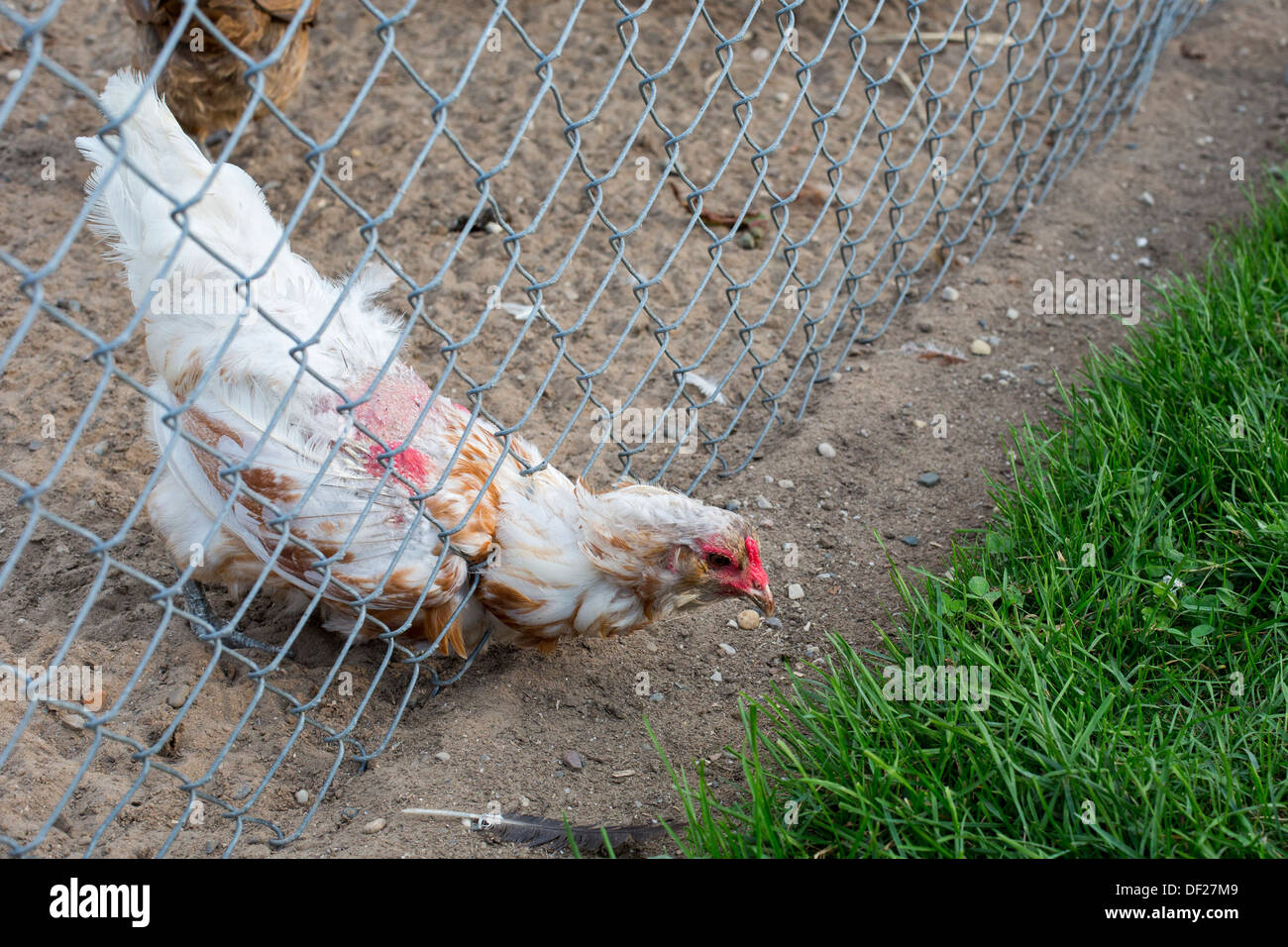 A chicken stretches through a fence at Grandpa Tiny's farm, a working historical farm and tourist attraction. - Stock Image