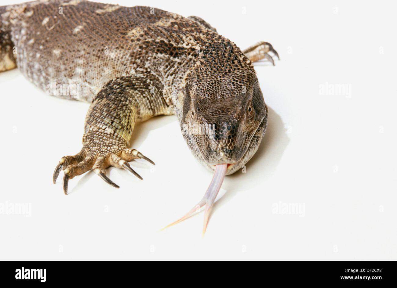 White Throat Monitor Lizard Varanus Albigularis Stock Photo