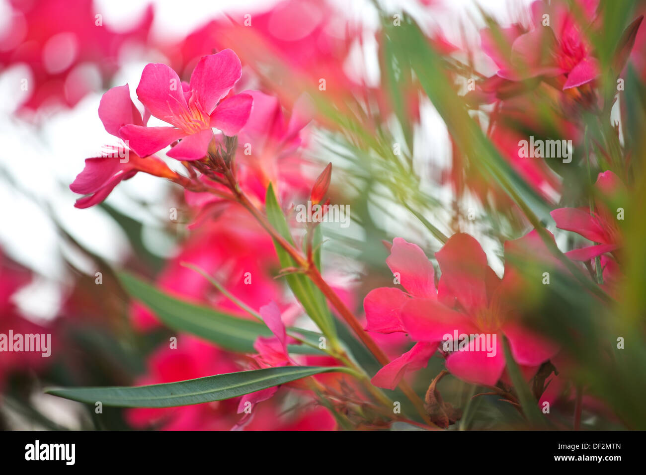 Photo of the pinky rural flowers - Stock Image