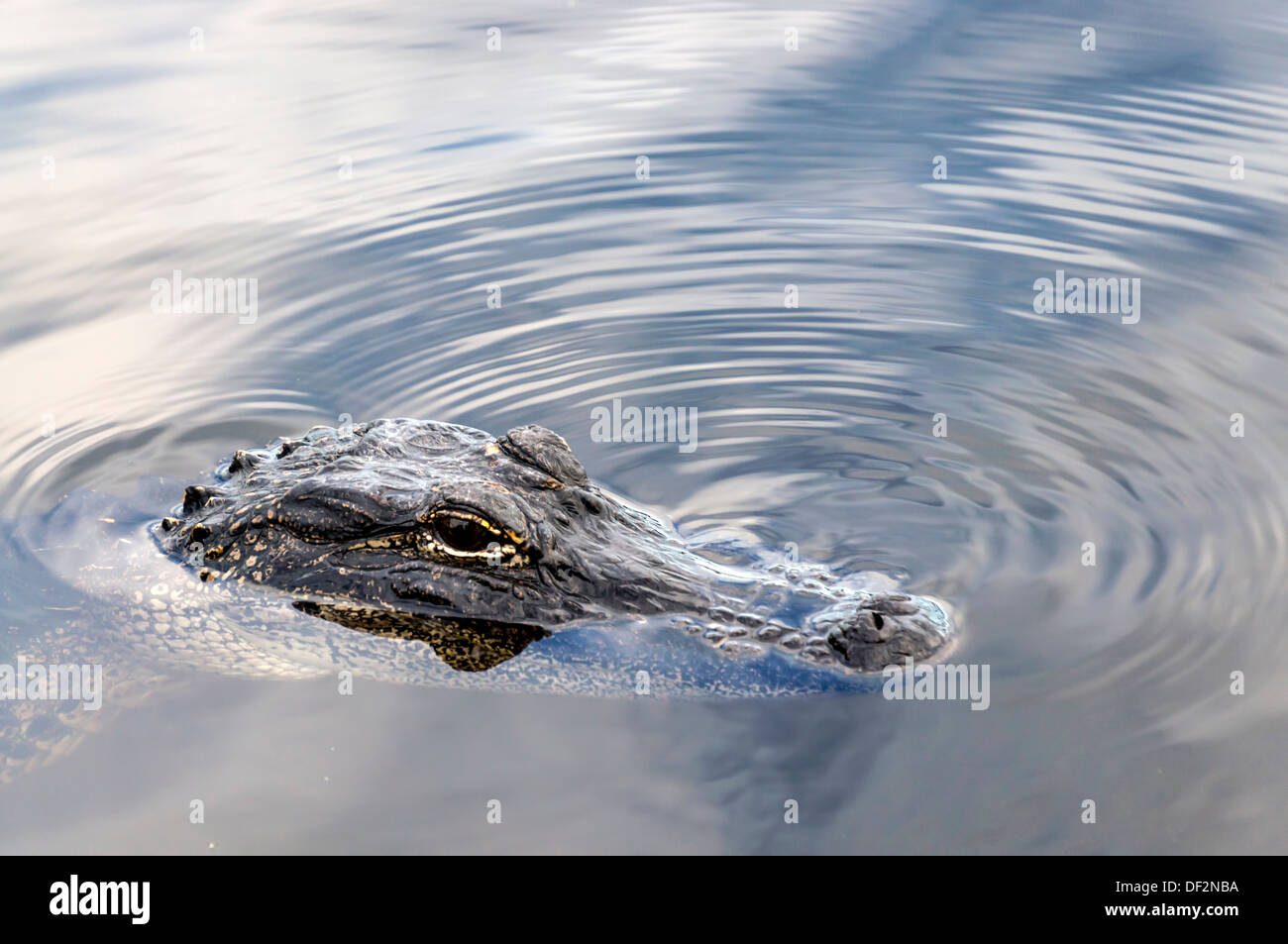 Small American alligator (Alligator mississippiensis), also known as gator, swimming with eyes and nostrils just above water. - Stock Image