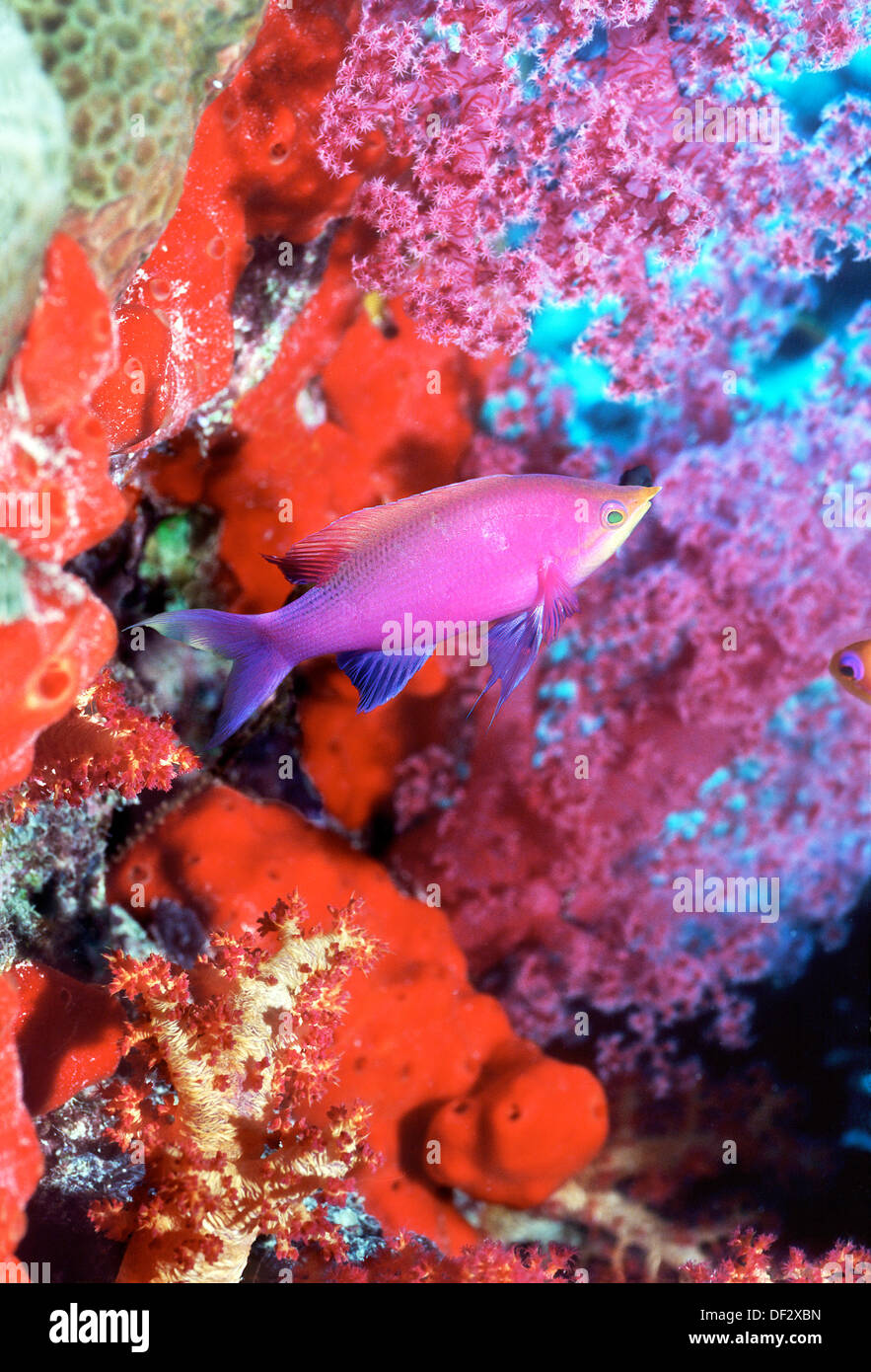 Purple Queen fish (Pseudanthias tuka) with red sponges and soft coral. Malaysia Stock Photo