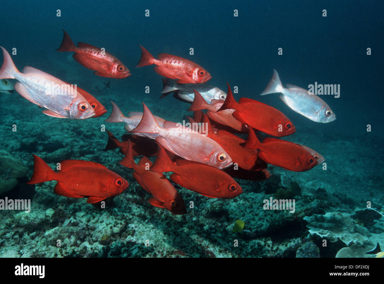 Bigeye or Goggle - eye (Priacanthus hamrur). Changing colour from ...
