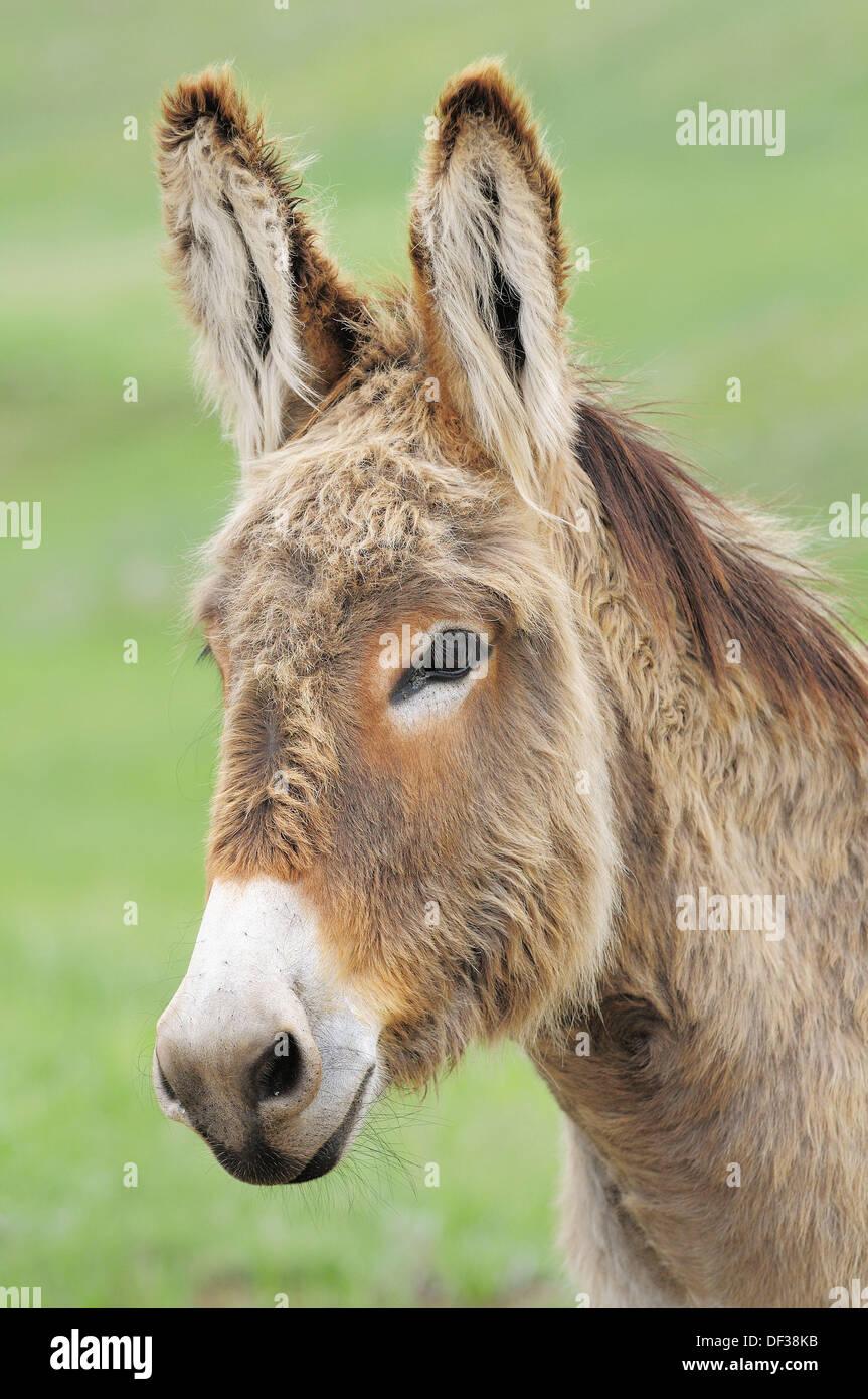 Domestic Donkey (Equus africanus f. asinus). Custer State Park, South Dakota, USA. Stock Photo