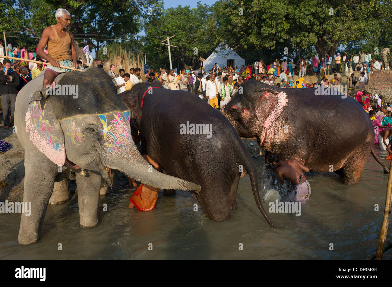 Mahout riding a painted elephant into the River Gandak for a bath, with other bathing elephants and pilgrims behind, Sonepur Mela, Sonepur, Bihar, India - Stock Image