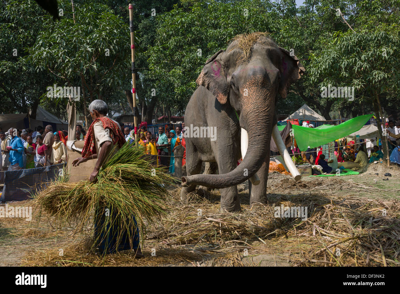 Mahout with large male elephant with docked tusks, in a camp at the Haathi Bazaar behind, Sonepur Mela, Sonepur, Bihar, India - Stock Image