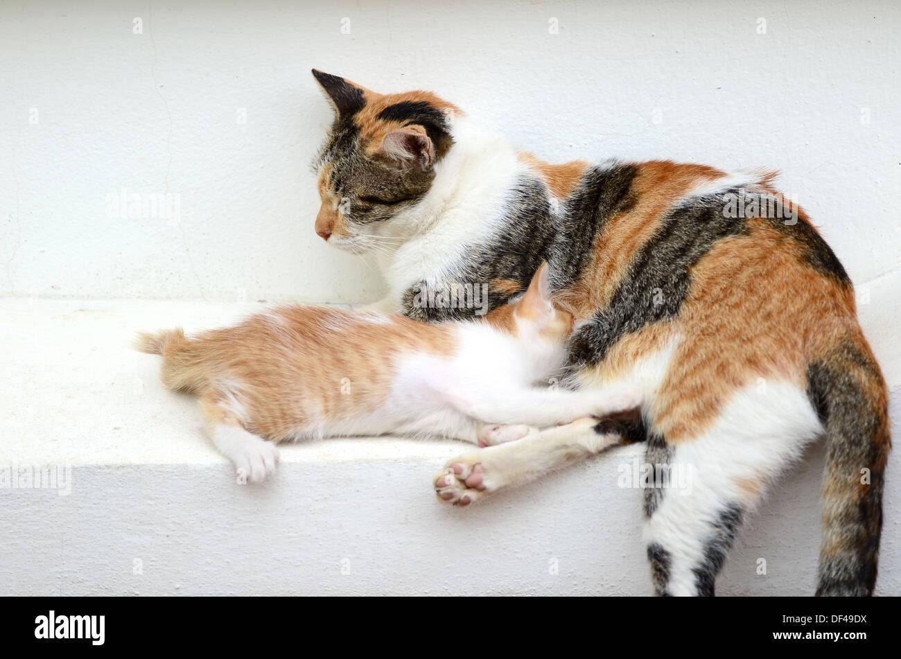kitten drinking milk - Stock Image