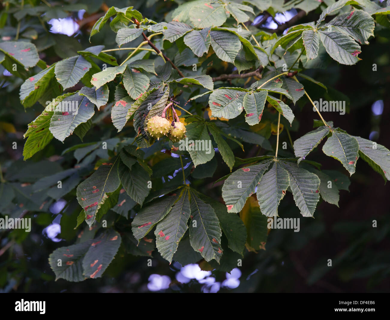 guignardia aesculi fungus blotches on horse chestnut tree leaves - Stock Image