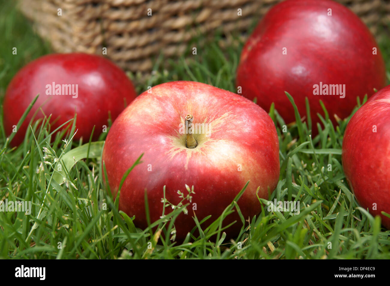 Red shiny Discovery apples freshly harvested - Stock Image