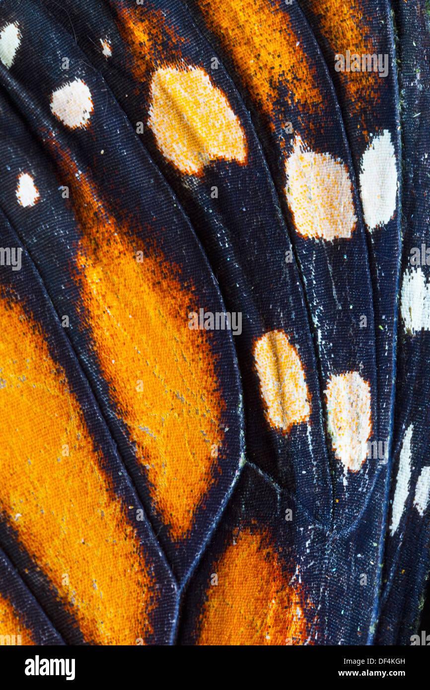 Monarch Butterfly (Danaus plexippus), detail of ocellus - Stock Image
