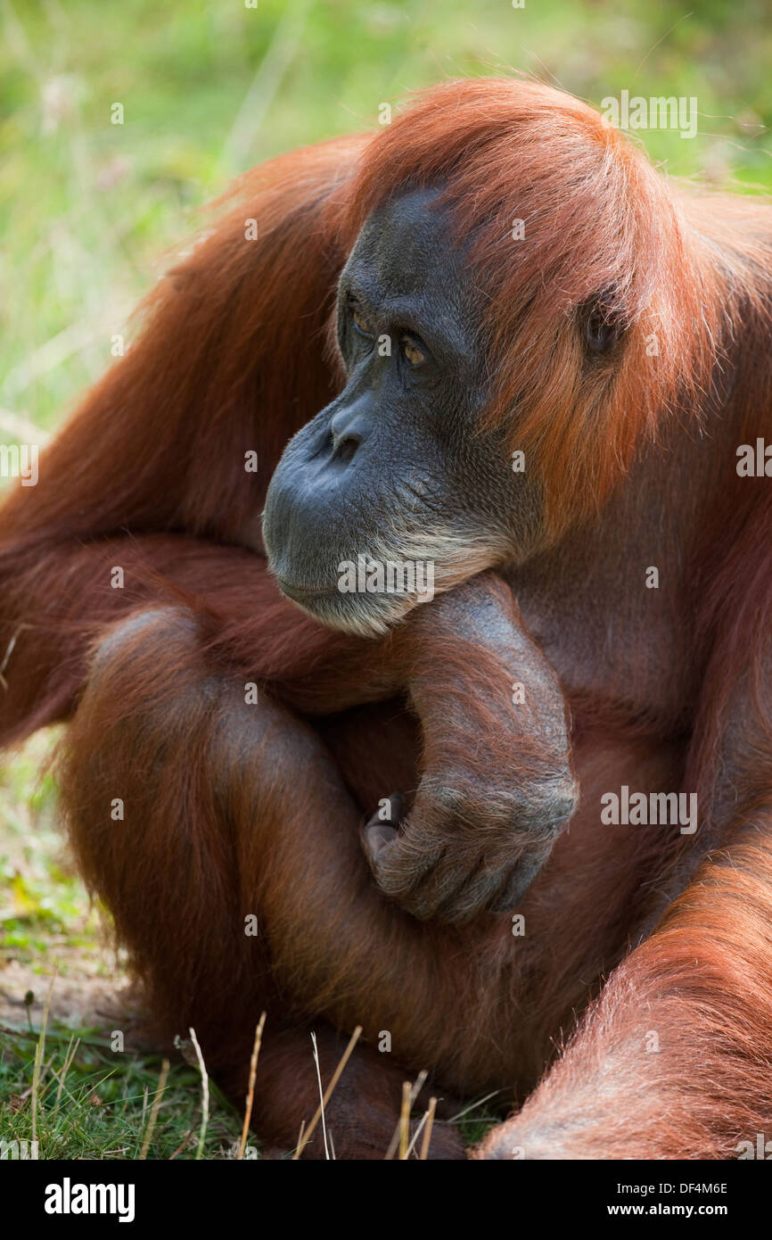 Sumatran Orang-utan (Pongo abelii) . Adult female. Durrell Wildlife Conservation Trust. Jersey, Channel Islands, Stock Photo