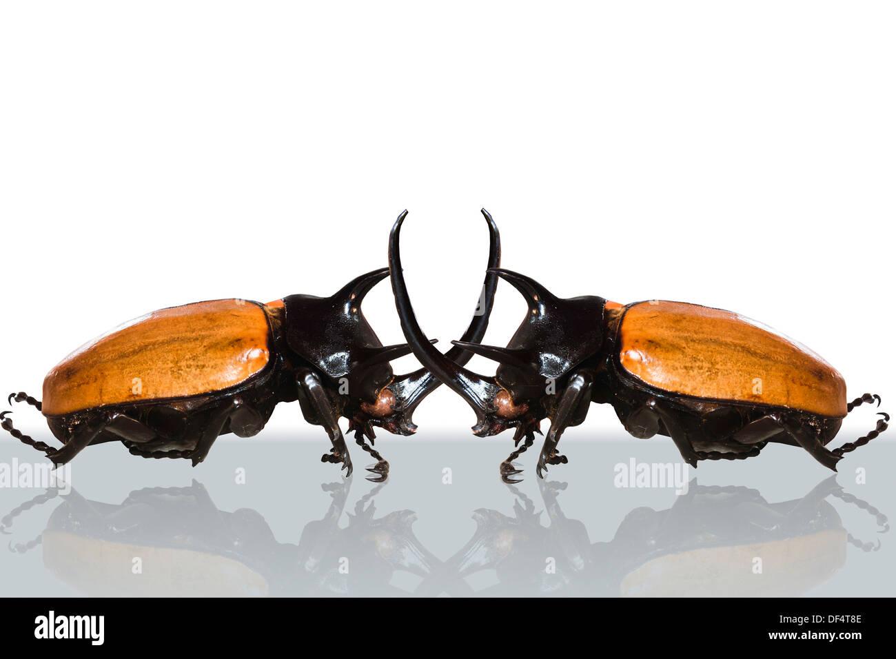 animal, antenna, backgrounds, beauty, beetle, big, bite, black, brown, bug, case, claw, close, closeup, clotures, color, danger - Stock Image