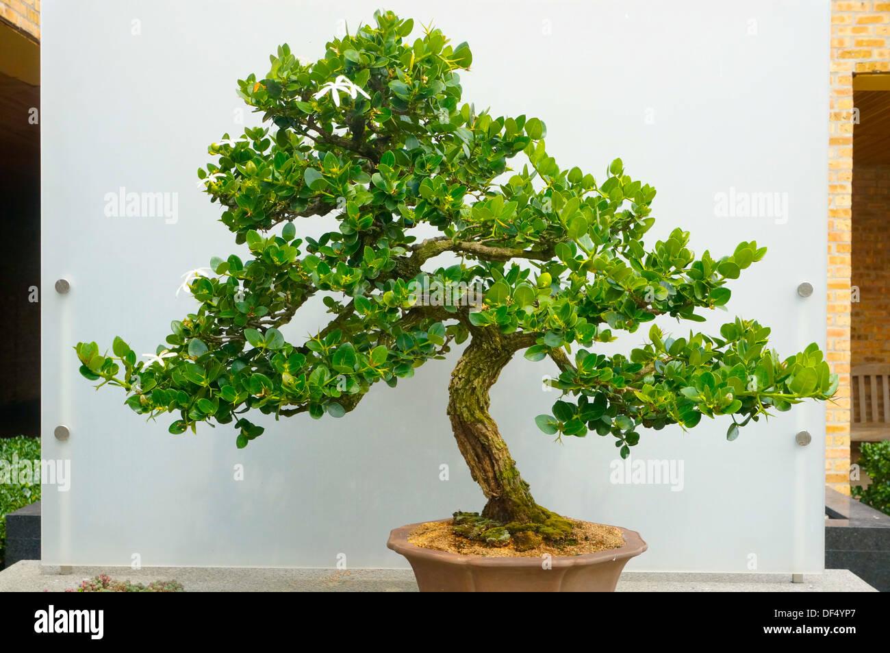 Bonsai Exhibit At The Chicago Botanic Garden In Glencoe Illinois Stock Photo Alamy