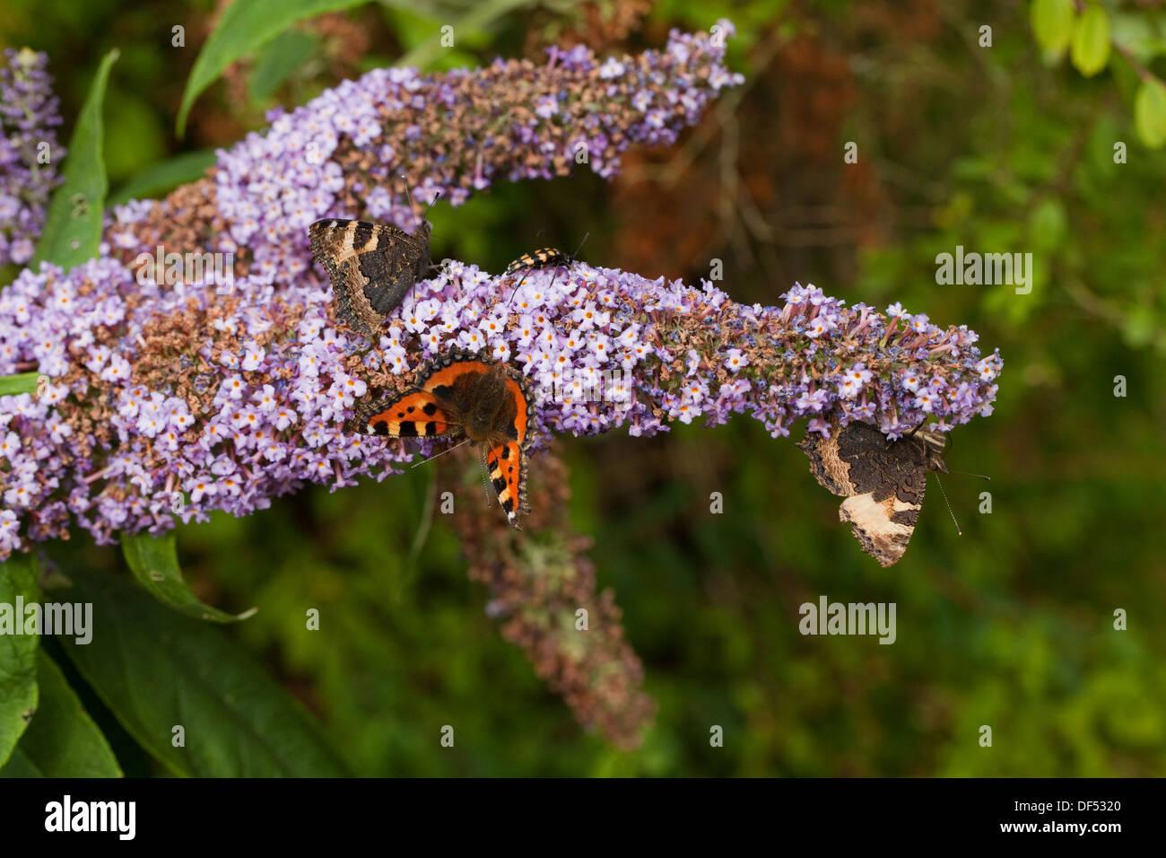 Small Tortoiseshell Butterflies (Aglais urticae). Taking nectar from garden flowers of Buddleia bush (Buddleja daviddii). - Stock Image