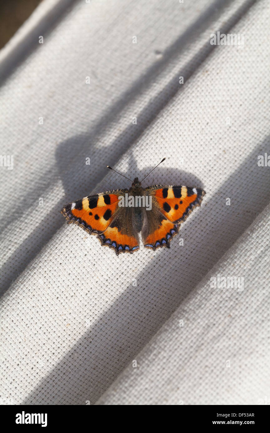Small Tortoiseshell Butterfly ( Aglais urticae ). Having sought refuge to hibernate in a house for the winter, waking up and resting on a window sill. - Stock Image