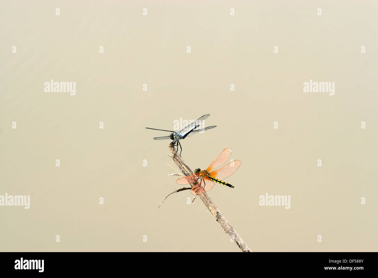 two dragonflies in the branches to rest - Stock Image