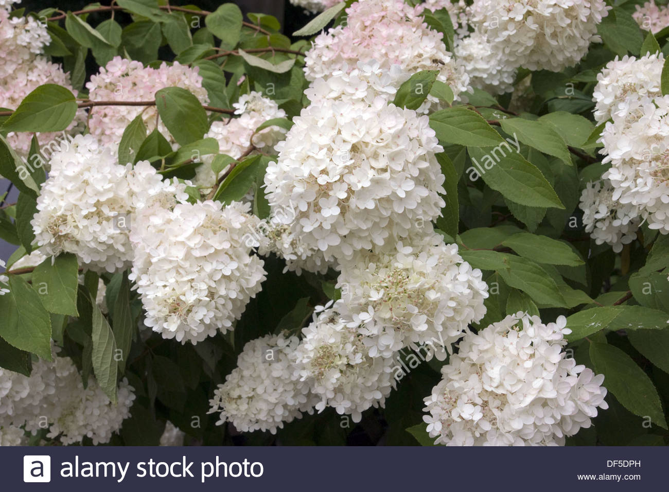 hydrangea paniculata phantom pee gee hortensie stock photo 60971529 alamy. Black Bedroom Furniture Sets. Home Design Ideas