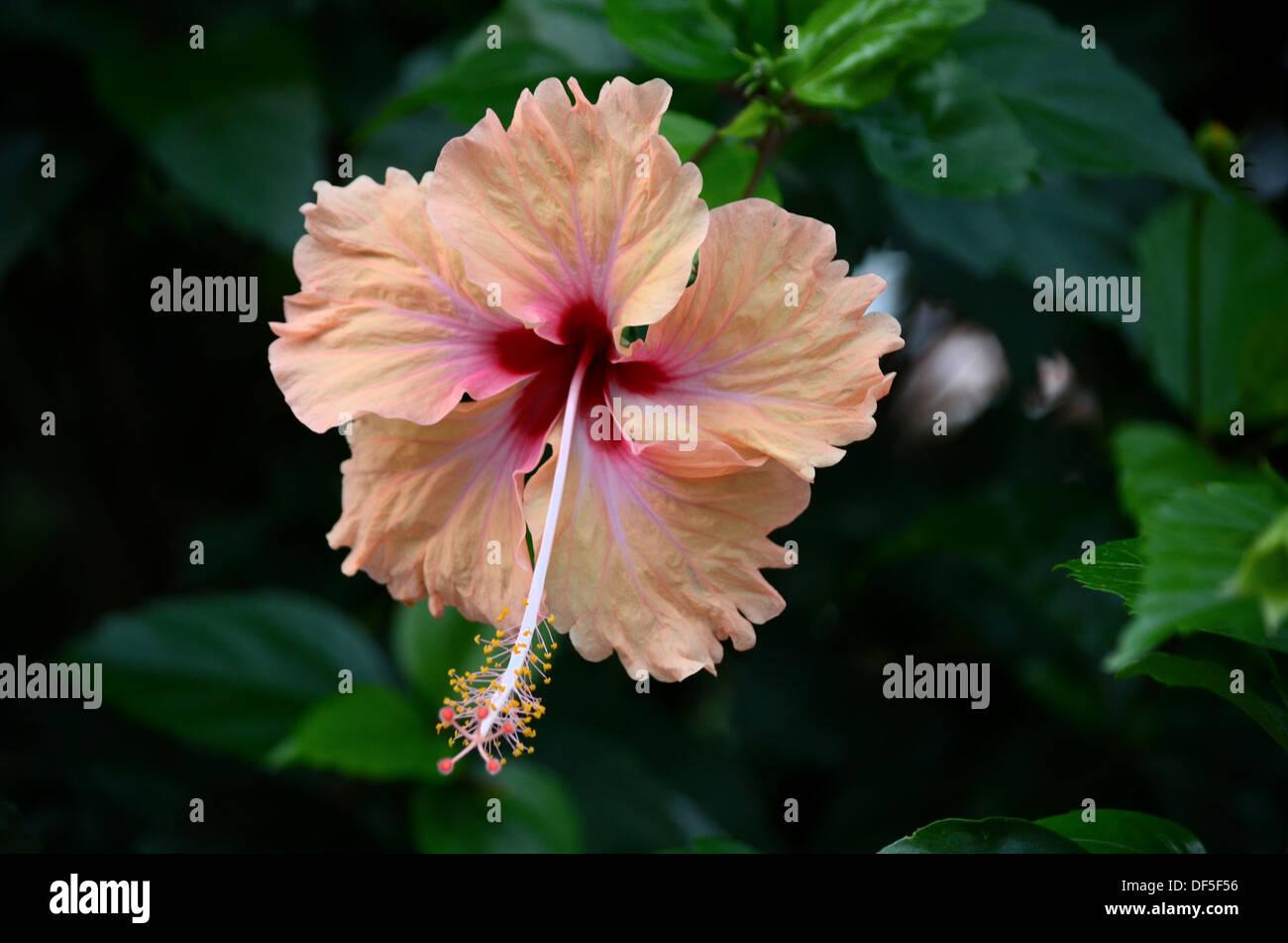 Purple hibiscus stock photos purple hibiscus stock images alamy peach and blood red purple hibiscus flower stock image izmirmasajfo