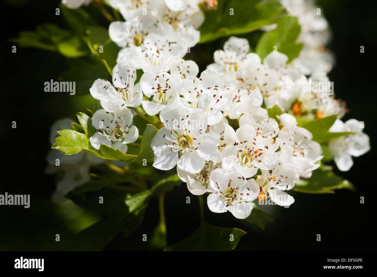 White Hawthorne Flower Stock Photos & White Hawthorne