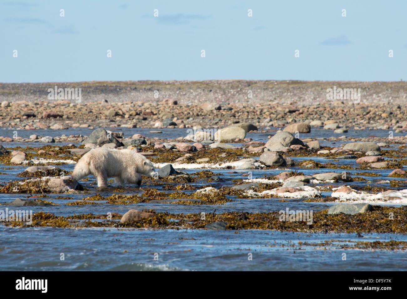 Canada, Nunavut, western shore of Hudson Bay, Kivalliq Region, Arviat. Young polar bear (Ursus maritimus). Stock Photo