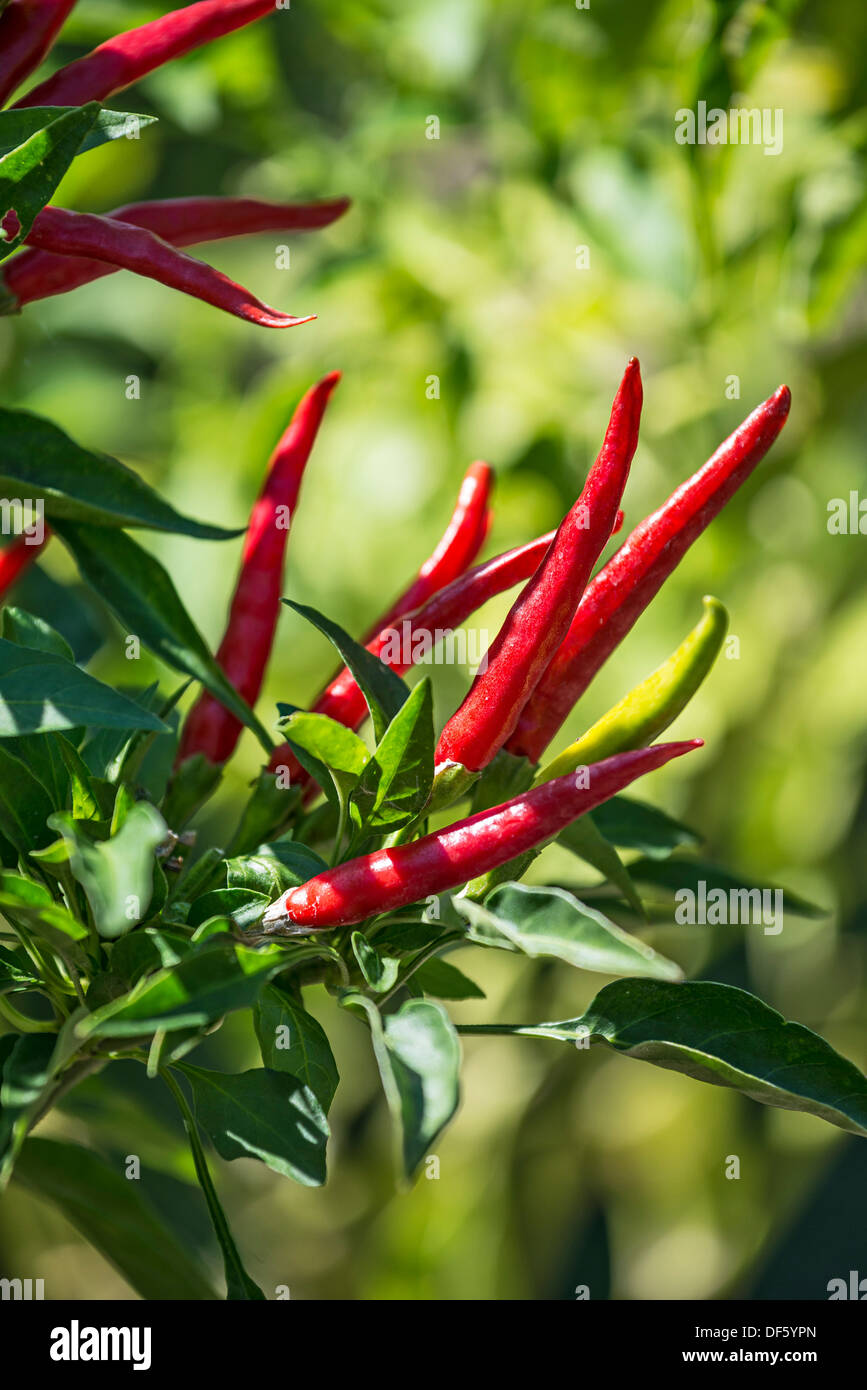 Colorful chili peppers of the Yatsufusa Pepper, Capsicum annuum. - Stock Image
