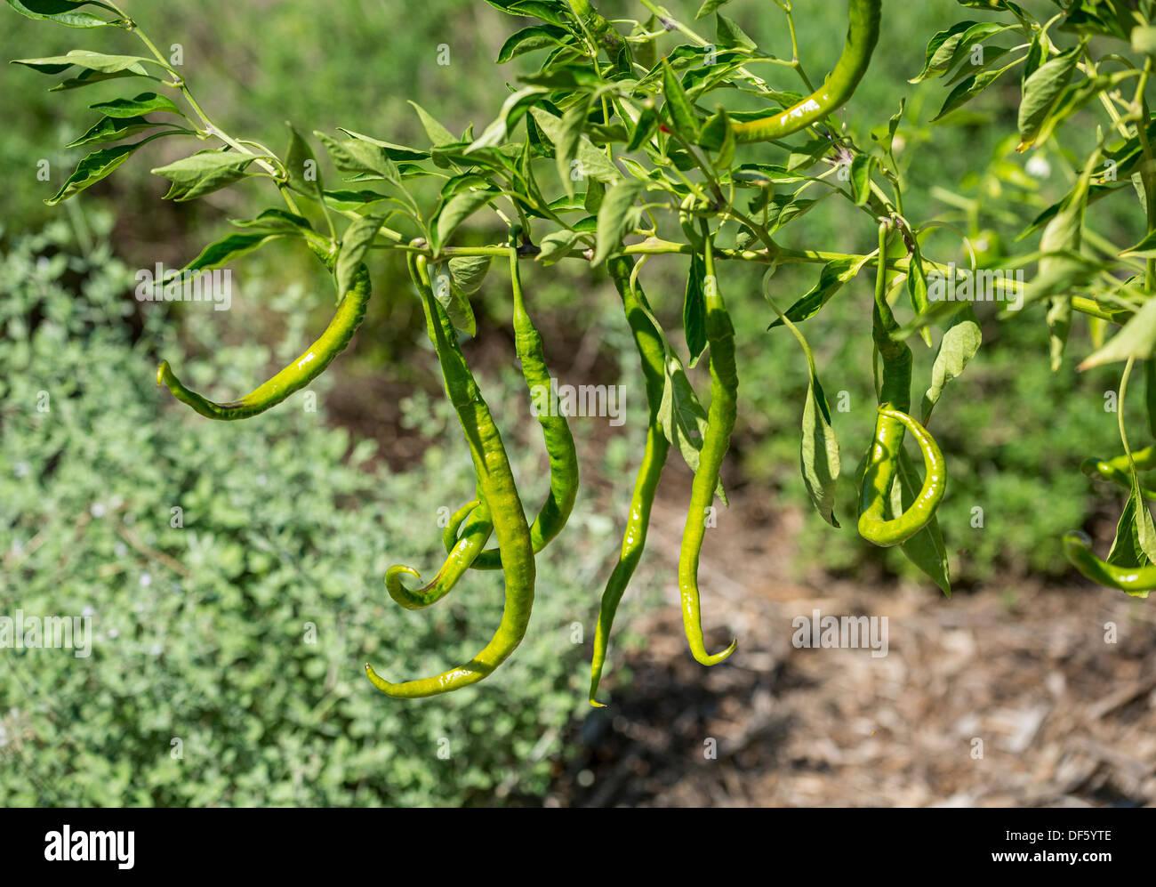 Joe's long cayenne pepper, Capsicum annuum. - Stock Image