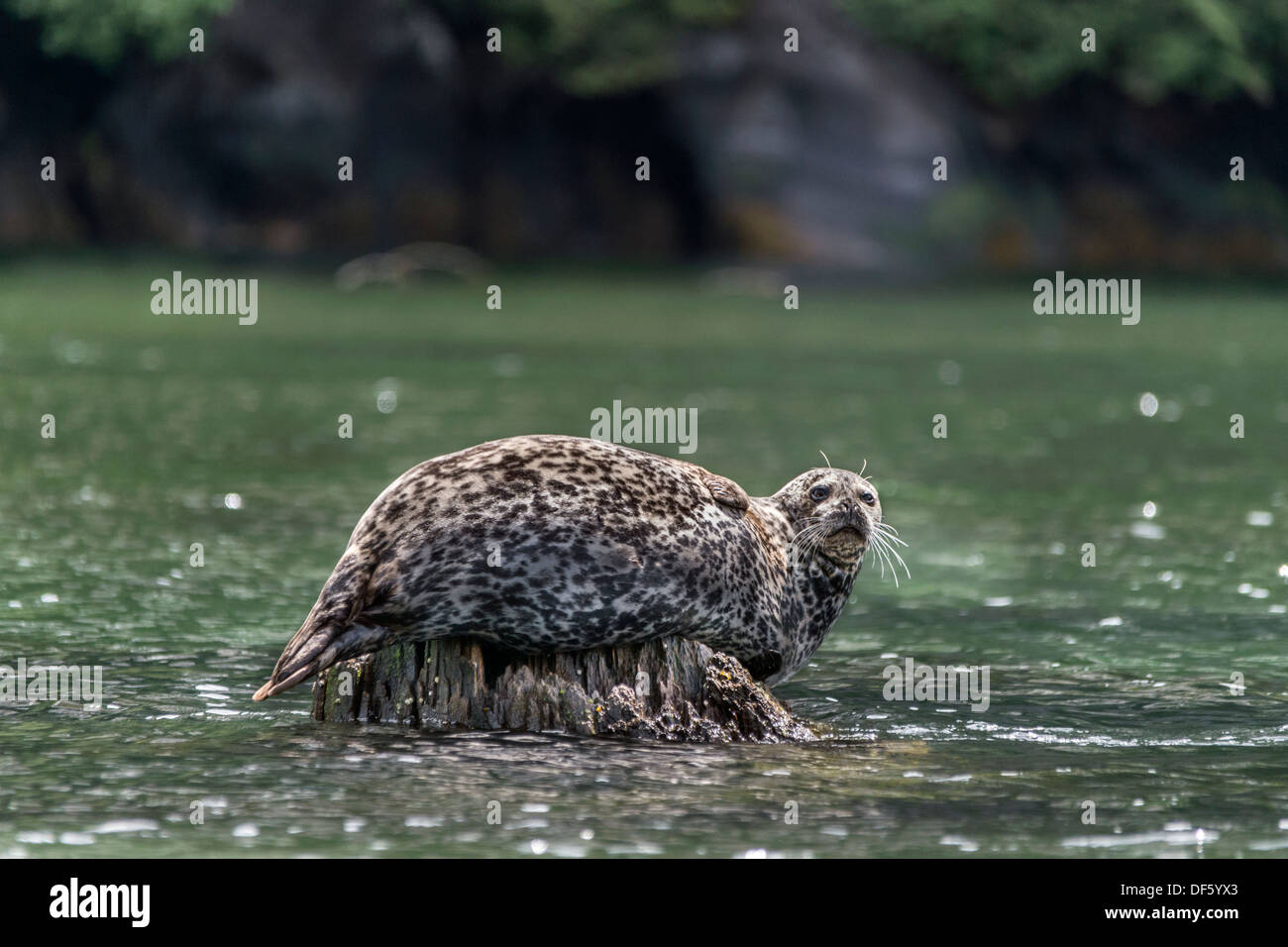Basking harbor seal, Mussel Cove, mid-coast British Columbia - Stock Image