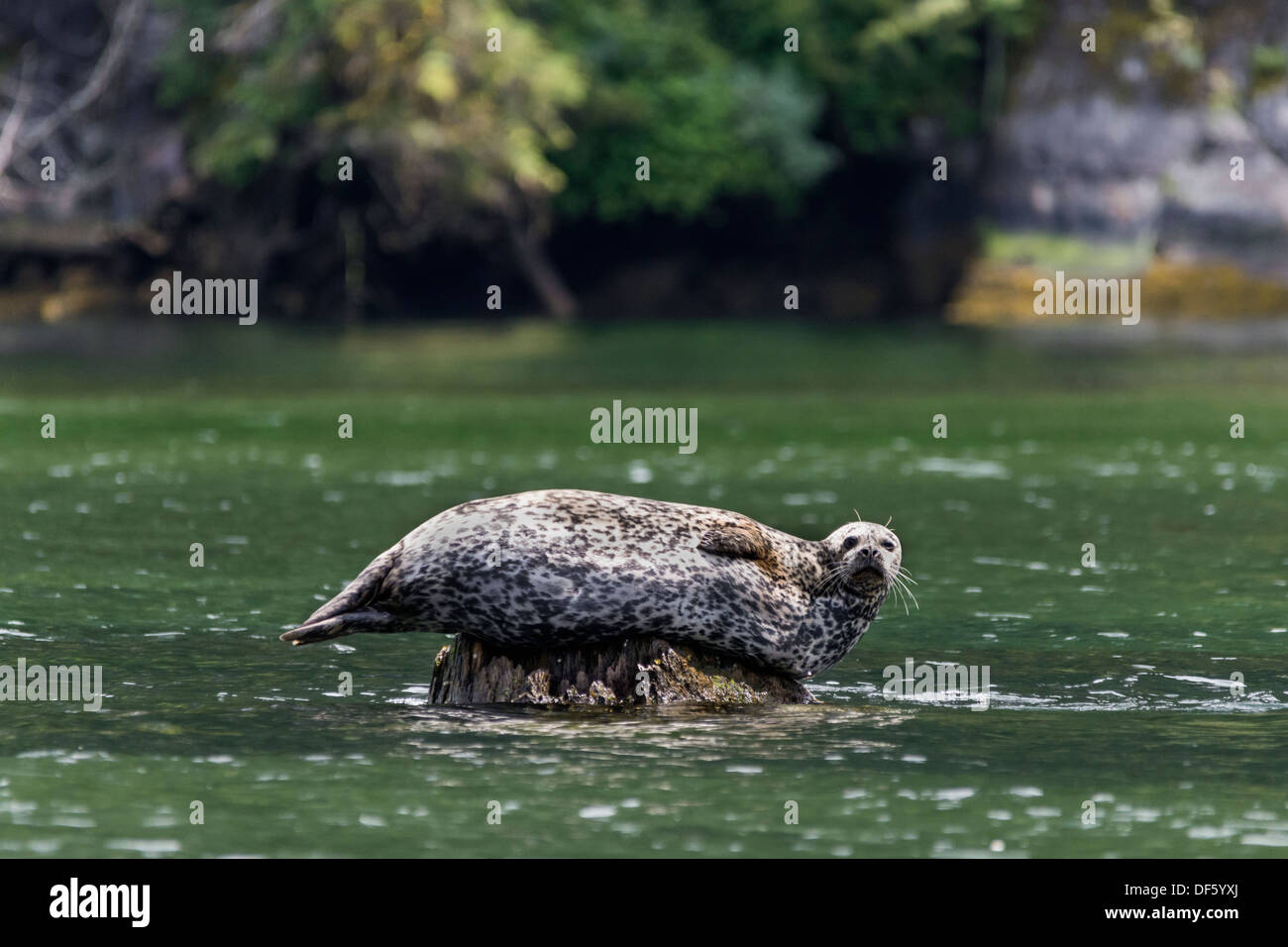 Harbor seal basking on a rock, Mussel Cove, mid-coast British Columbia - Stock Image