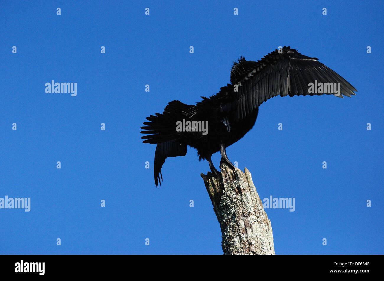indian darter spreading wings,thekkady wild life sanctuary,kerala,india - Stock Image