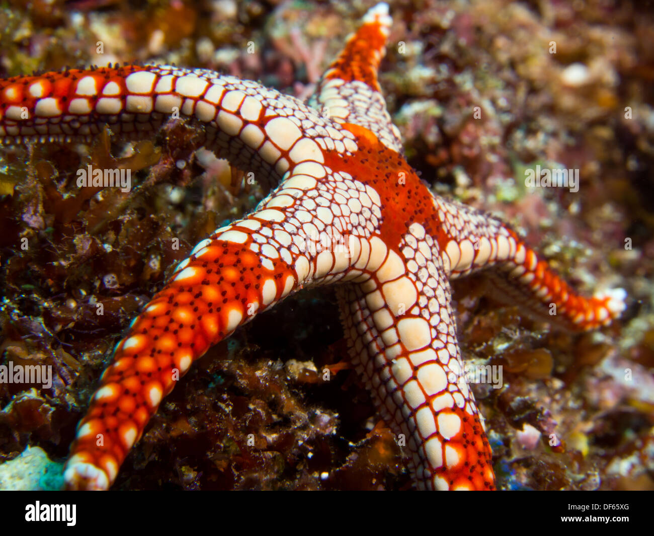 Colorful seastar on a coral reef at Bunaken Island, Indonesia - Stock Image