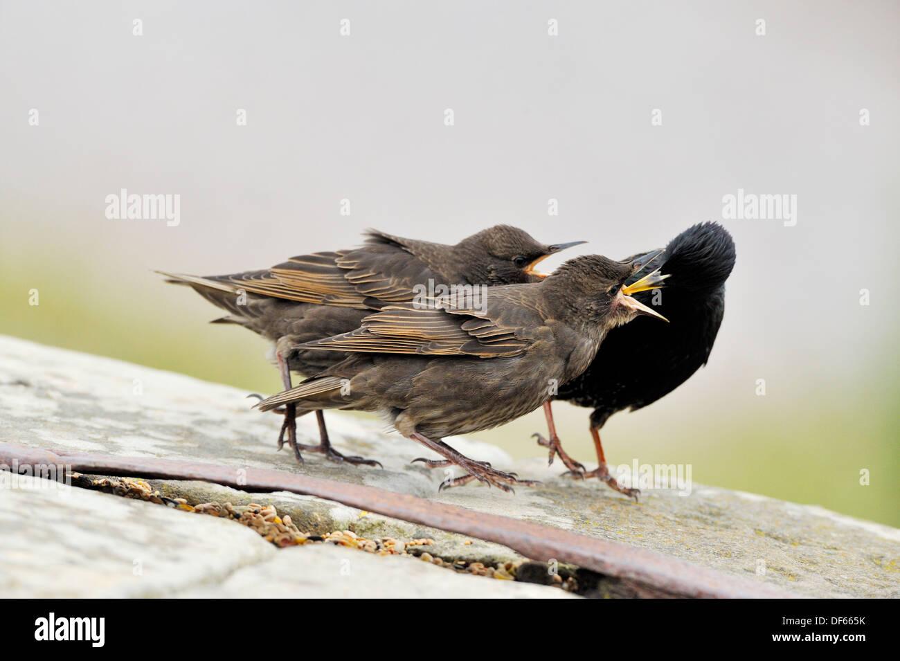Starling - Juveniles being fed by parent Sturnus vulgaris - Stock Image
