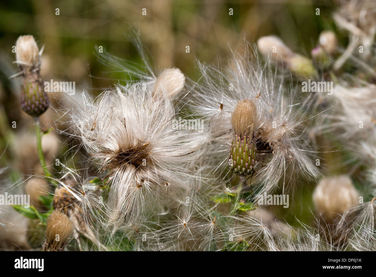 Thistle Seed Heads; UK - Stock Image
