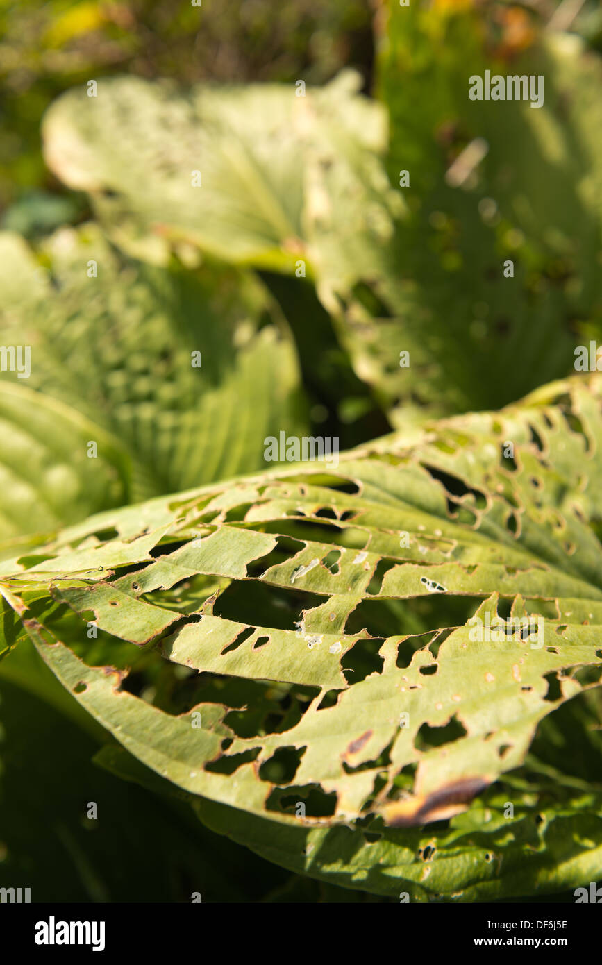 Bad Case Of Pest Damage To Hosta Leaves In Late Summer Many Holes