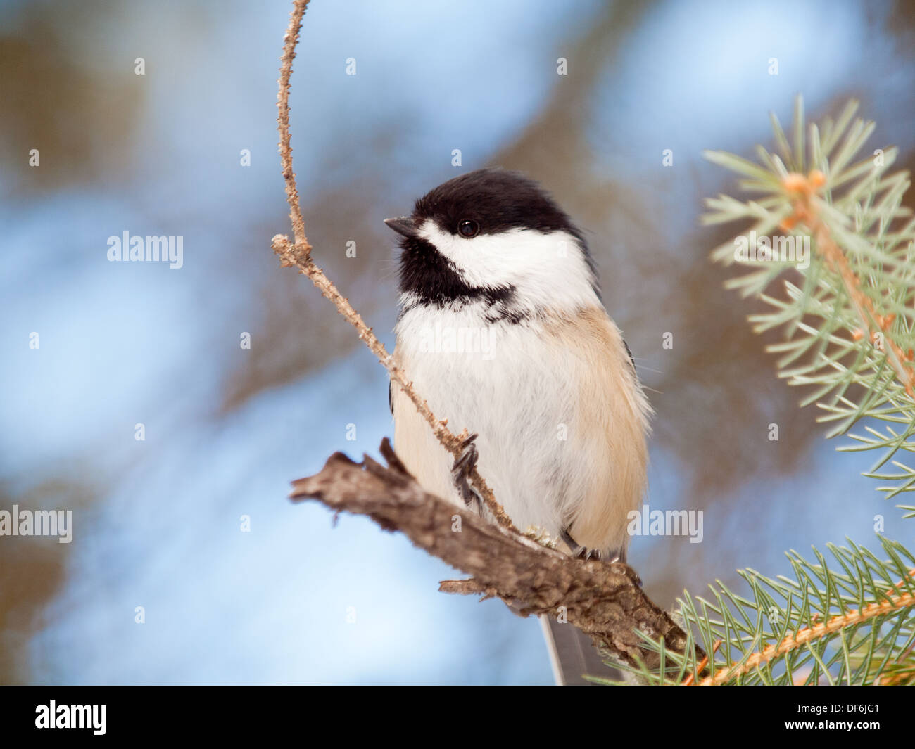 A very cute Black-capped Chickadee (Poecile atricapillus) in winter.  Edmonton, Alberta, Canada. - Stock Image