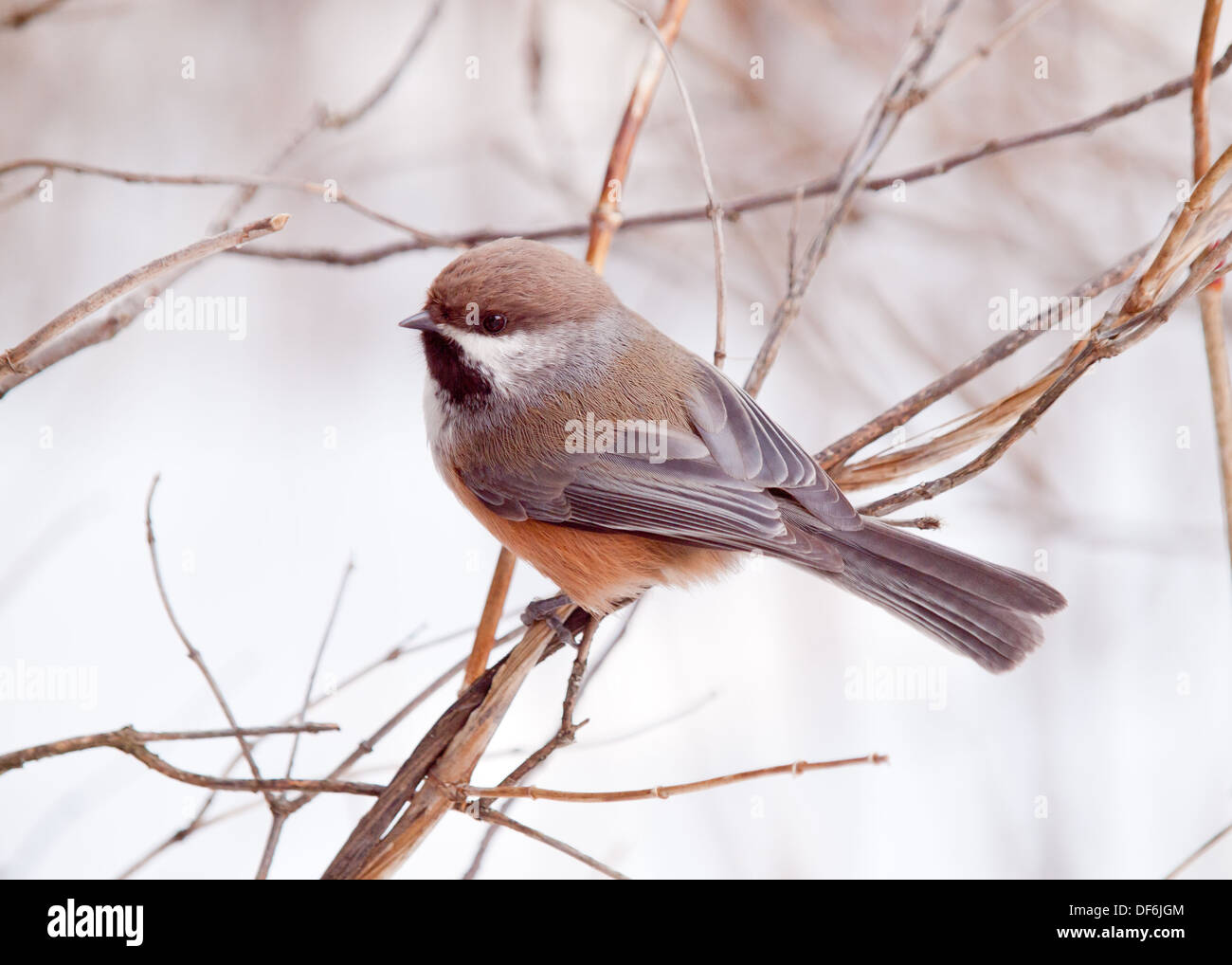 A perched Boreal Chickadee (Poecile hudsonicus) in the wintertime. Edmonton, Alberta, Canada. - Stock Image