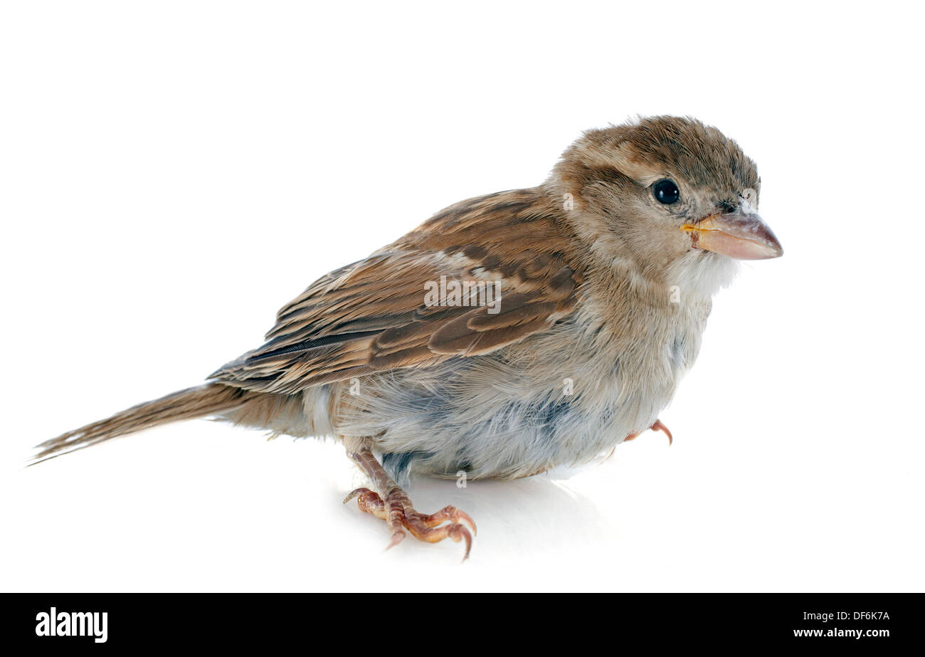 female House Sparrow in front of white background - Stock Image