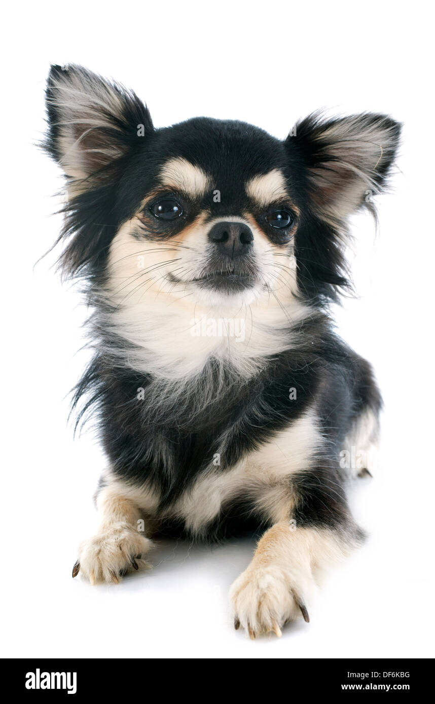 black and tan chihuahua in front of white background - Stock Image